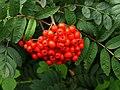 Roadside Red Berries - geograph.org.uk - 926628.jpg