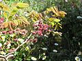 Robinia hispida buds - Flickr - peganum (1).jpg