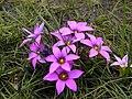 Romulea rosea - Schlechter ex Beguinot Rondebosch common.jpg