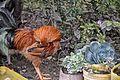 Rooster & Succulents, Adigrat (11815313405).jpg
