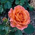Rosa. Onbenaamde cultivar (actm) 01.jpg