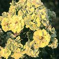 Rosa 'GREENSLEEVES' FL Harknes 1980.jpg