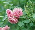 Rosa 'Pink Grootendorst'.jpg