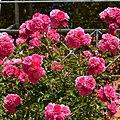 """Rosa """"Excelsa"""". 05.jpg"""