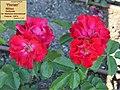 "Rosa ""Florian"" o MEIlaur. 02.jpg"