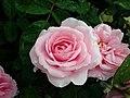 Rosa Gertrude Jekyll 2019-06-07 1365.jpg