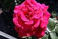 Rosa Mr Lincoln 0zz.jpg