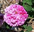 Rosa Nubienne 2.jpg