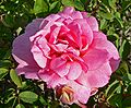 Rosa Souvenir de Mme Ladvocat 1.jpg