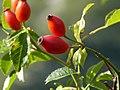 Rosa canina fruit (19).jpg