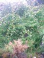 Rosa pimpinellifolia Habitus 23April2006 SierradeAlfacar.jpg