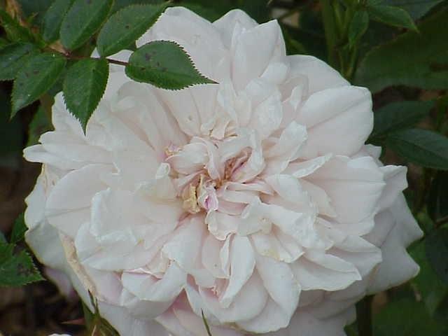 Rosa sp.265