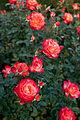 Rose, Fruite - Flickr - nekonomania (9).jpg