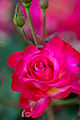 Rose, Kurenai - Flickr - nekonomania (3).jpg