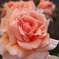 Rose, Pennsylvanian, バラ, ペンシルバニアン, (15260333224).jpg