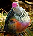 Rose-Crowned Fruit Dove.jpg