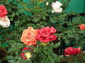 Rose from lalbagh year 2012 - 1662.JPG