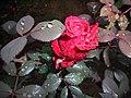 Rose in rain in winter.jpg