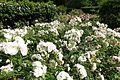 Roses @ Parc de Bercy @ Paris (27734217156).jpg