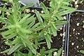 Rosmarinus officinalis Blue Spires 0zz.jpg