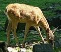 Rothirsch Kalb 070816.jpg