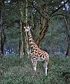 Rothschild's Giraffe (Giraffa camelopardalis rothschildi) (8291072559).jpg