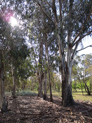 Lindsay Pryor National Arboretum - Image: Row of trees ecalyptus Lindsay Pryor National Arboretum