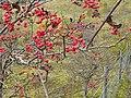 Rowan berries in Walltown Quarry - geograph.org.uk - 1540587.jpg