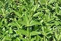 Rubia tinctorum 1zz.jpg