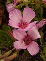 Ruby chalice clarkia (Clarkia rubicunda) (7778062648).jpg