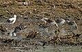 Ruff (Philomachus pugnax)- acquiring breeding plumage- near Hyderabad W IMG 5029.jpg