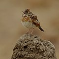 Rufous-naped Lark, Mirafra africana, at Pilanesberg National Park, Northwest Province, South Africa (44410385134).jpg