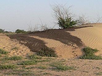 Desert locust - Dense hopper band in Sudan
