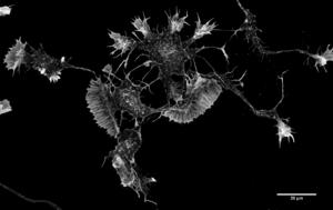 Neurone miroir  Wikipédia