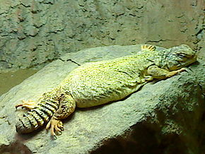 Description de l'image Saharan Spiny-tailed Lizard, Uromastyx geyri.jpg.