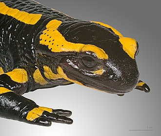 Fire salamander - Image: Salamandara salamandra MHNT 3