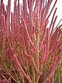 Salicornia rubra (7922167612).jpg