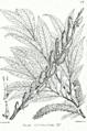 Salix daphnoides Bra62.png