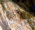 Salticidae, Aelurillus sp. - Flickr - gailhampshire (1).jpg