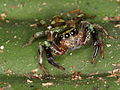 Salticidae (6282451885).jpg