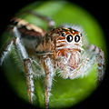 Salticidae on leaf-Northeast Region, Brazil.jpg