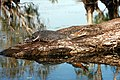 Saltwater croc kakadu.jpg