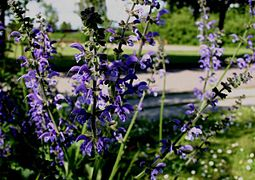 Salvia-pratensis-flowering.JPG