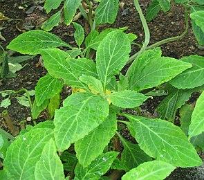 Azteken-Salbei (Salvia divinorum)