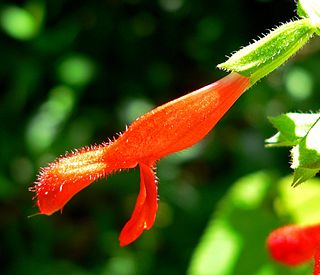 <i>Salvia gesneriflora</i> species of plant