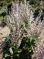 Salvia sclarea 1c.JPG