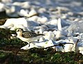 Sanderling (Calidris alba) - geograph.org.uk - 936591.jpg
