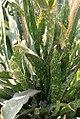 Sansevieria kirkii pulchra 0zz.jpg