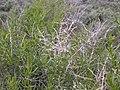 Sarcobatus vermiculatus (4049573351).jpg