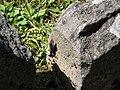 Sarmizegetusa Regia 2011 - Lizard on Dacian Stone-1.jpg